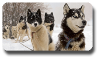 Vign_chiens